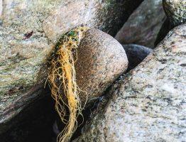 Steine und Tang