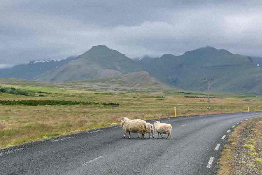 Schafe haben Vorfahrt - Island